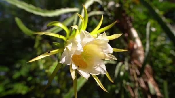Gyönyörű sárkány gyümölcs virág, Hylocereus undatus, a fehér húsú pitahaya, egy faj a kaktuszfélék