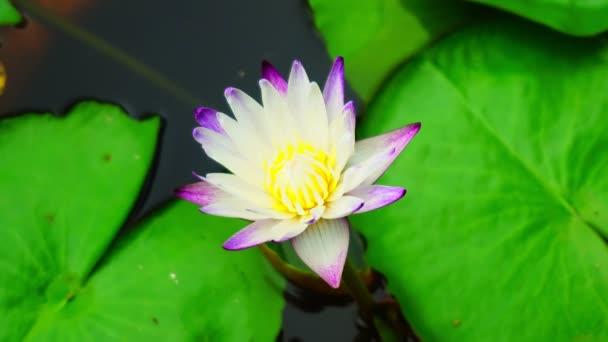 Top view gyönyörű virágzó virág színes víz liliom virág reggel A harmónia és nyugalom szimbólum