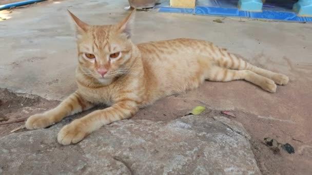 Thaiföld aranyos macska