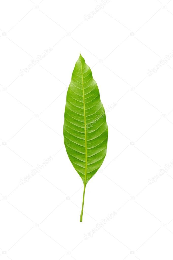 Detalle hoja de rbol de mango fotos de stock etaphop for Arboles de hojas perennes en chile
