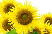 Krásné slunečnice v zahradě