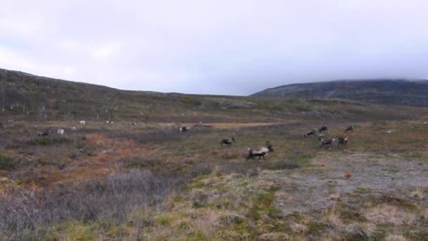 Skandinávské sobů