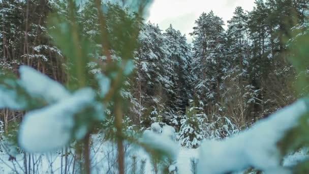 Krásný zasněžený jedle větve