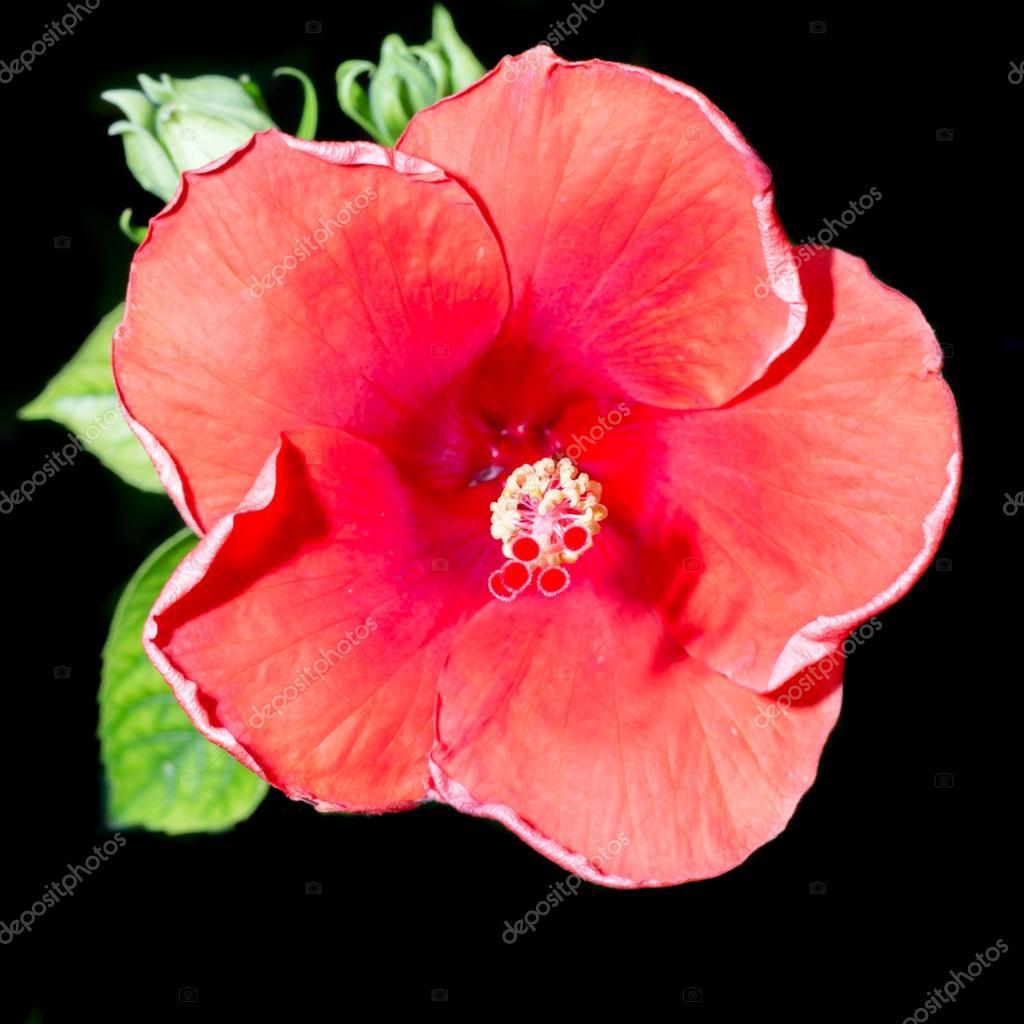 Red hibiscus flower on a black background stock photo 9chai red hibiscus flower on a black background stock photo izmirmasajfo