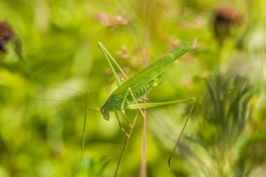 Great Green Bush-Cricket a top of blades