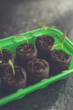 tomato breeding