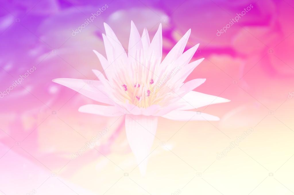 Beautiful lotus in color