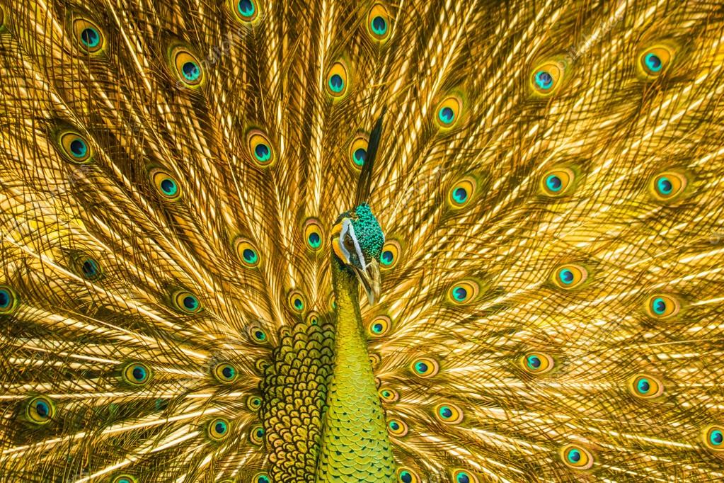 [Obrazek: depositphotos_80595016-stock-photo-golden-peacock.jpg]