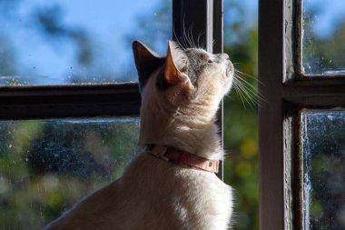 """Картина, постер, плакат, фотообои """"красивая белая женщина с серыми ушами и розовым воротником смотрит на закат из окна дома. мир животных. любитель домашних животных. защитники животных. любитель кошек."""", артикул 490577140"""