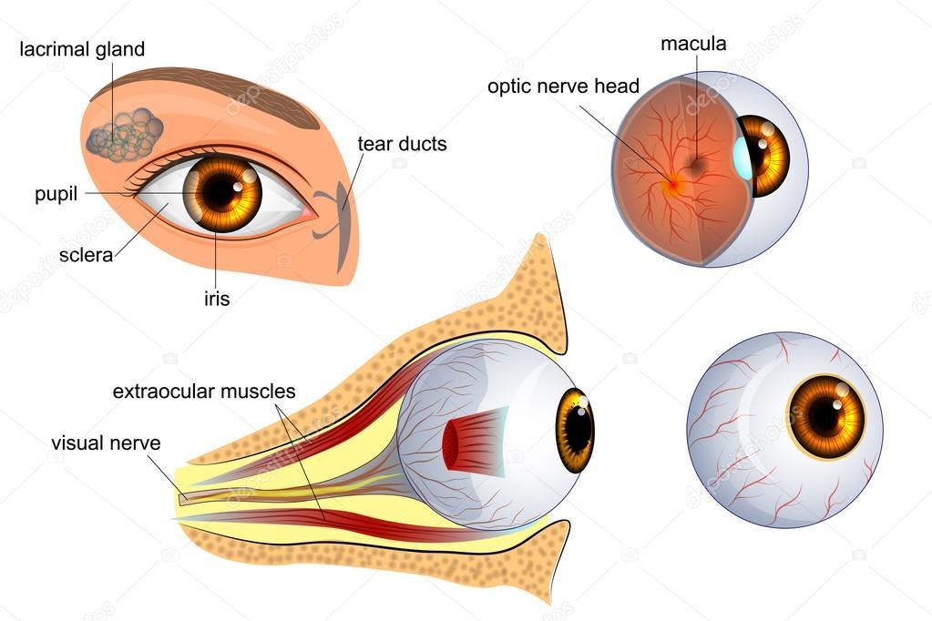 Anatomía del ojo. el globo ocular, iris, pupila — Vector de stock ...