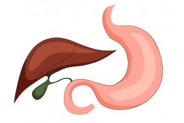 stomach,liver and gall bladder