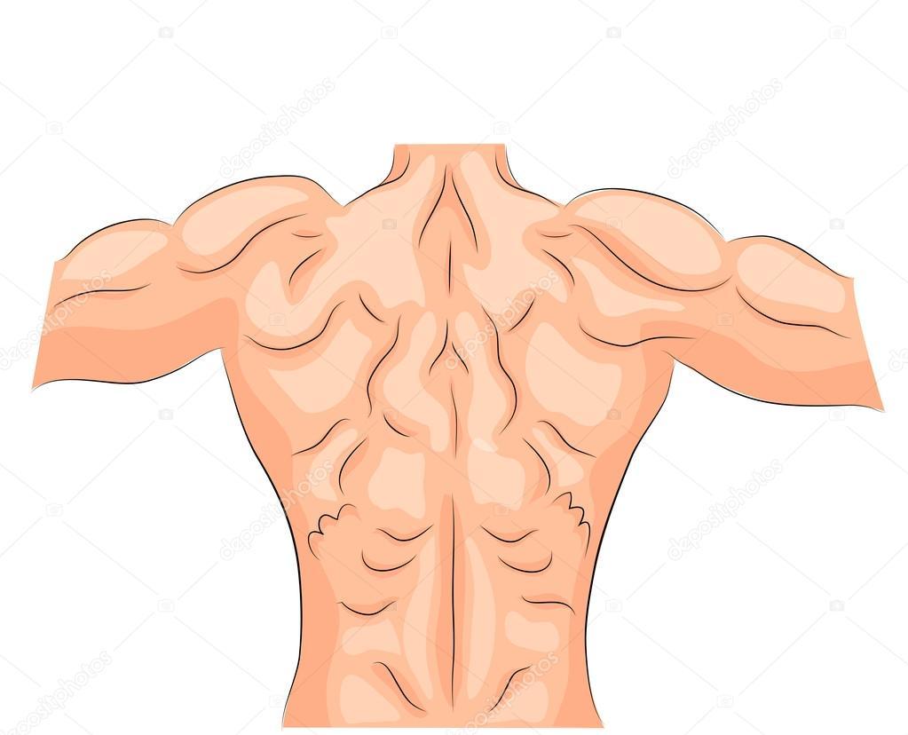 los músculos de la espalda. culturista — Archivo Imágenes ...