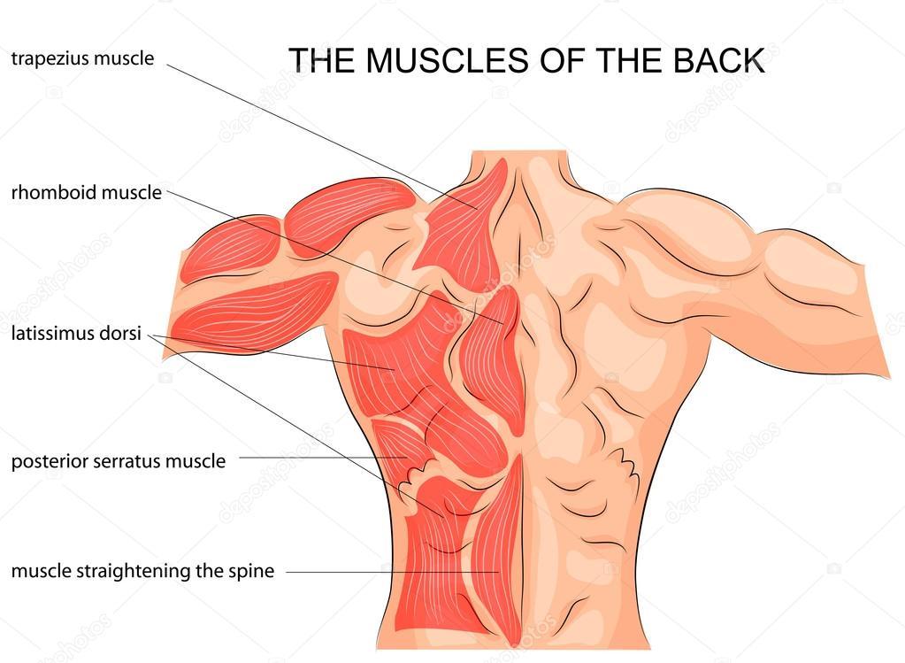 los músculos de la espalda. culturista — Vector de stock © Artemida ...