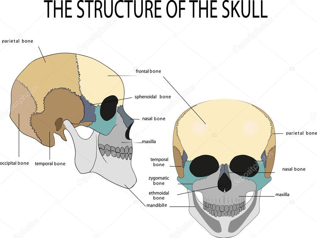 menschlicher Schädel Anatomie — Stockvektor © Artemida-psy #80636478