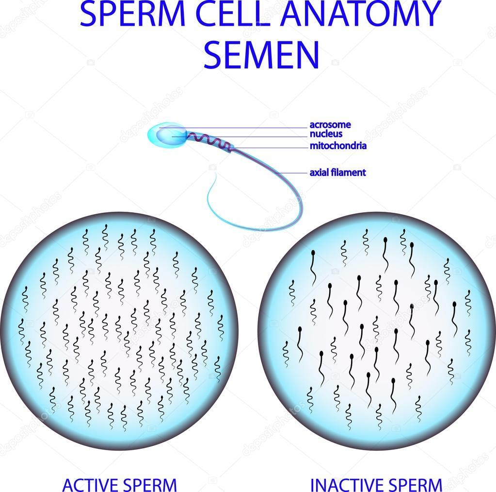 Sperm Cell Anatomy Semen Stock Vector Artemida Psy 81059732