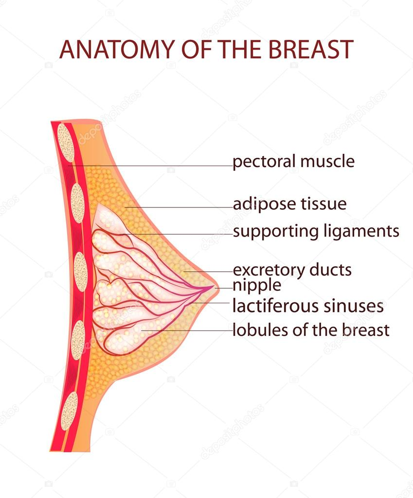 anatomy of the breast — Stock Vector © Artemida-psy #81060256