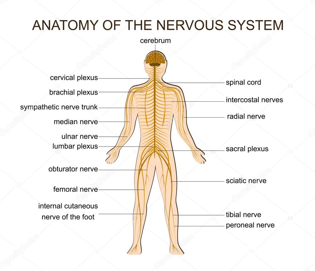 Anatomía del sistema nervioso — Archivo Imágenes Vectoriales ...