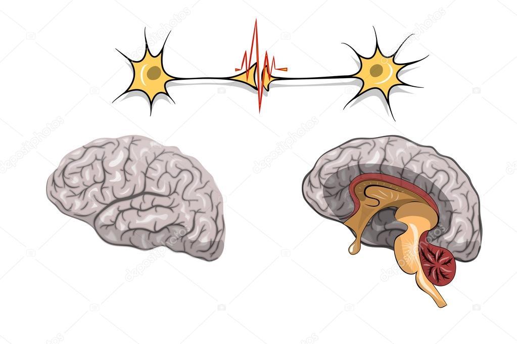 Anatomía del cerebro — Archivo Imágenes Vectoriales © Artemida-psy ...