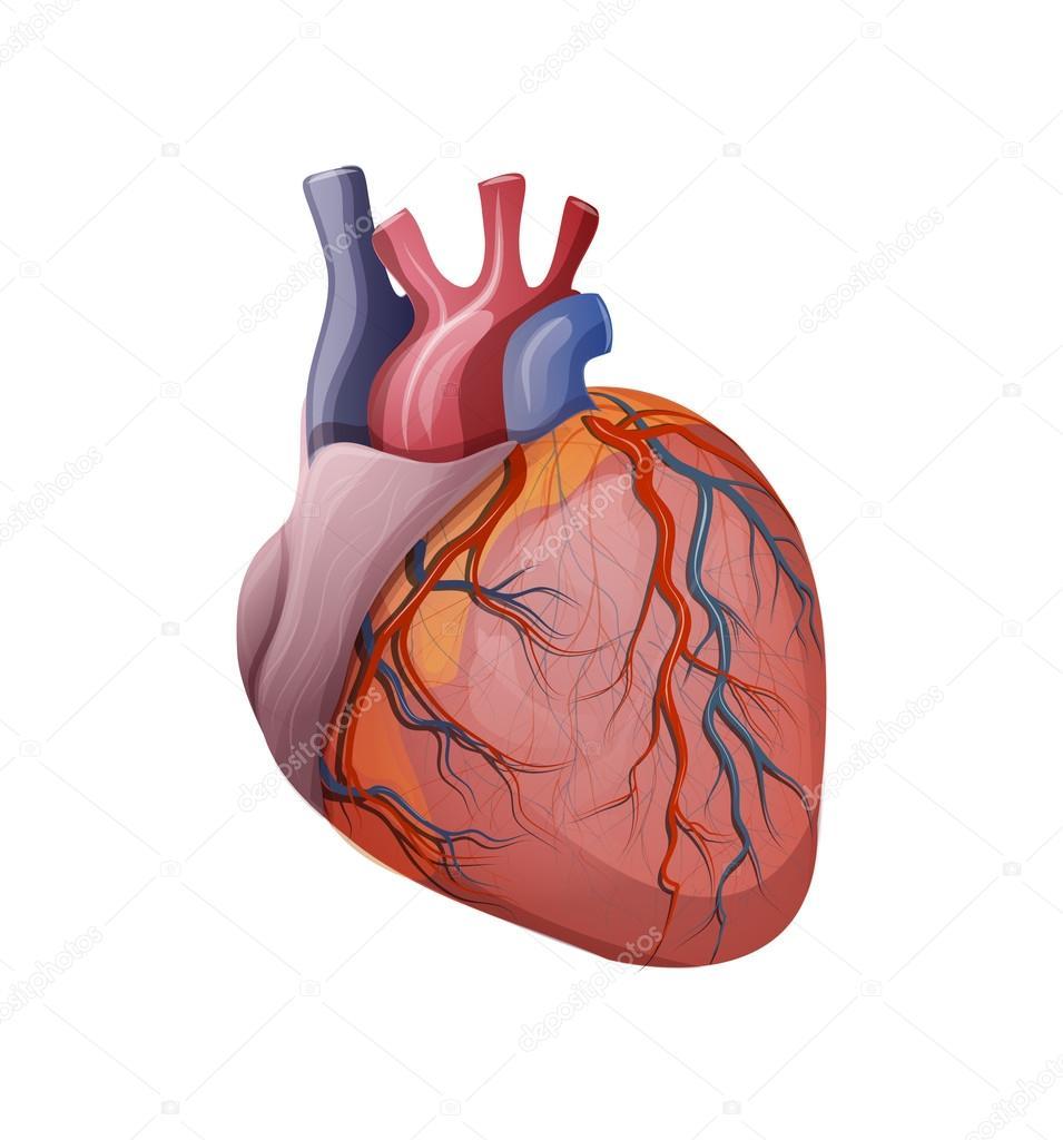 Anatomía del corazón — Archivo Imágenes Vectoriales © Artemida-psy ...