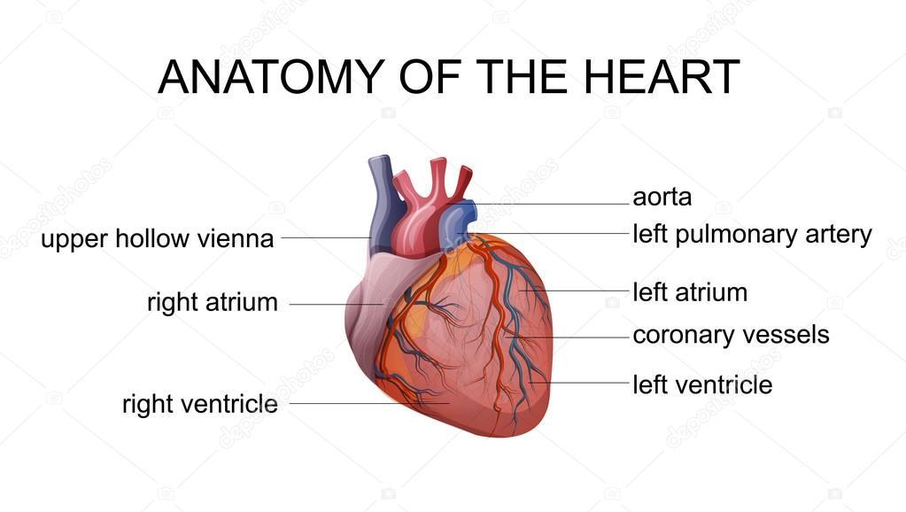 Anatomie des Herzens — Stockvektor © Artemida-psy #88485010