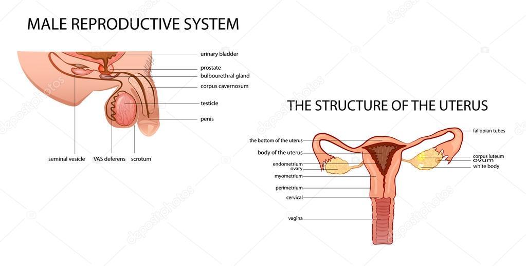 sistema reproductor masculino y femenino — Vector de stock ...