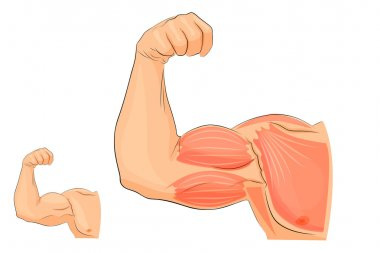the muscles of the hand, anatomy