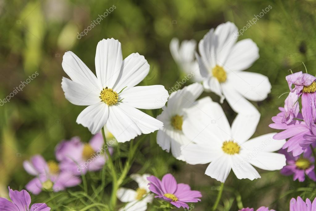 White cosmos flowers stock photo wayfarerlife 92437544 white cosmos flowers stock photo mightylinksfo
