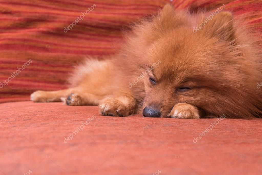 Pommerschen Hund In Haar Schuppen Schlafen Auf Dem Sofafokus O