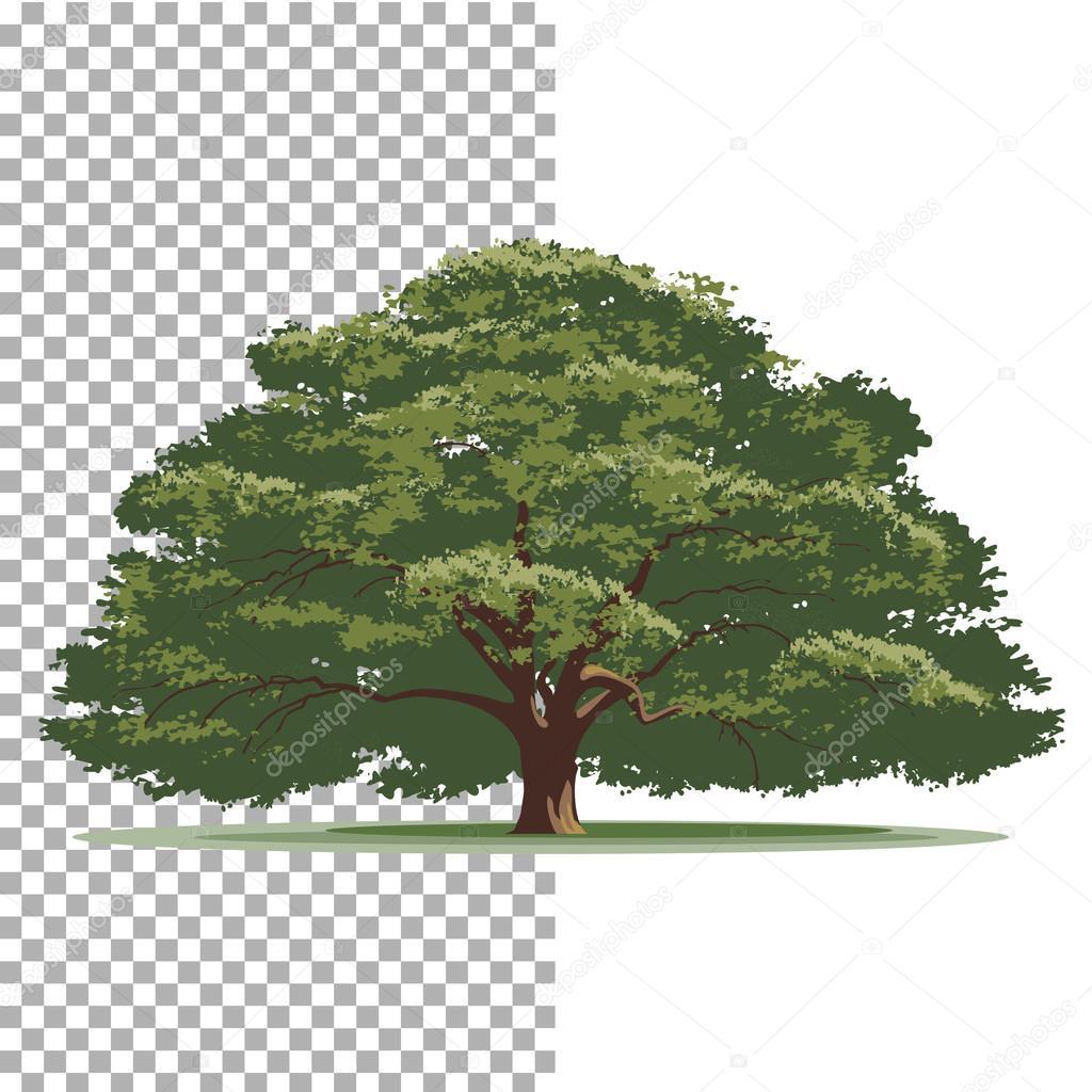 Vectores Arboles En árbol Del Roble árbol De Vectores Aislados