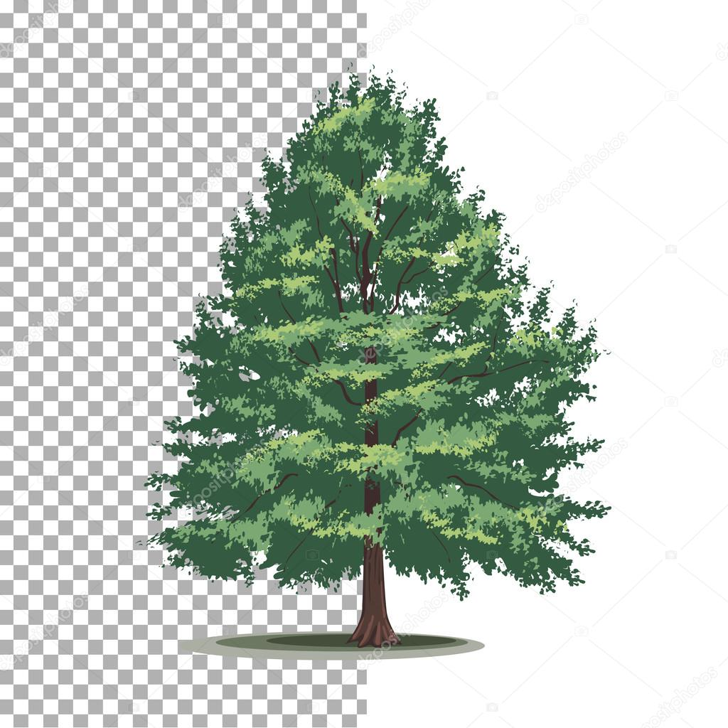 Bald Cypress Tree Isolated Vector Tree On White Background Vector Image By C Broncos Vector Stock 103151328