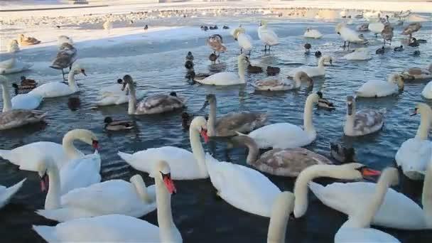 bílé labutě a kačenky plavání na zamrzlou řeku