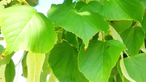Zweig der Grünen Linde, Linde mit grünen Blättern.