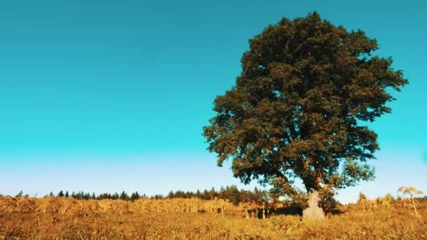 Single oak tree in a field  on the colors of summer