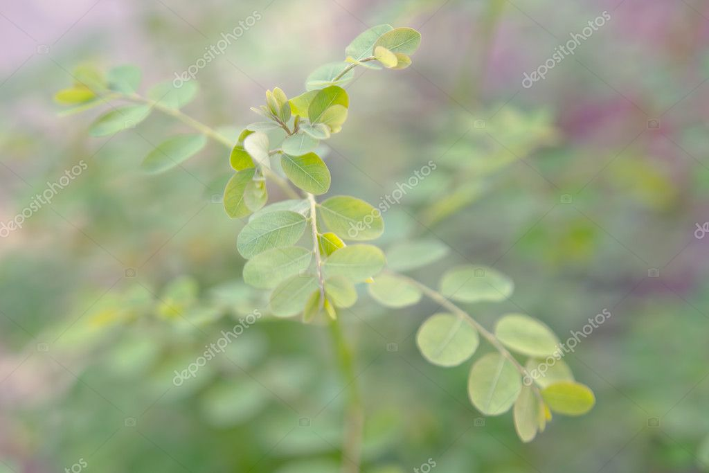 Moringa leaf (Benefits include reducing high blood pressure, eli