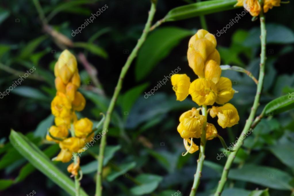 Yellow flower of Ringworm bush or candle bush flower or Candelab