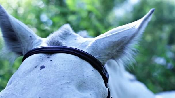 fehér ló fülek