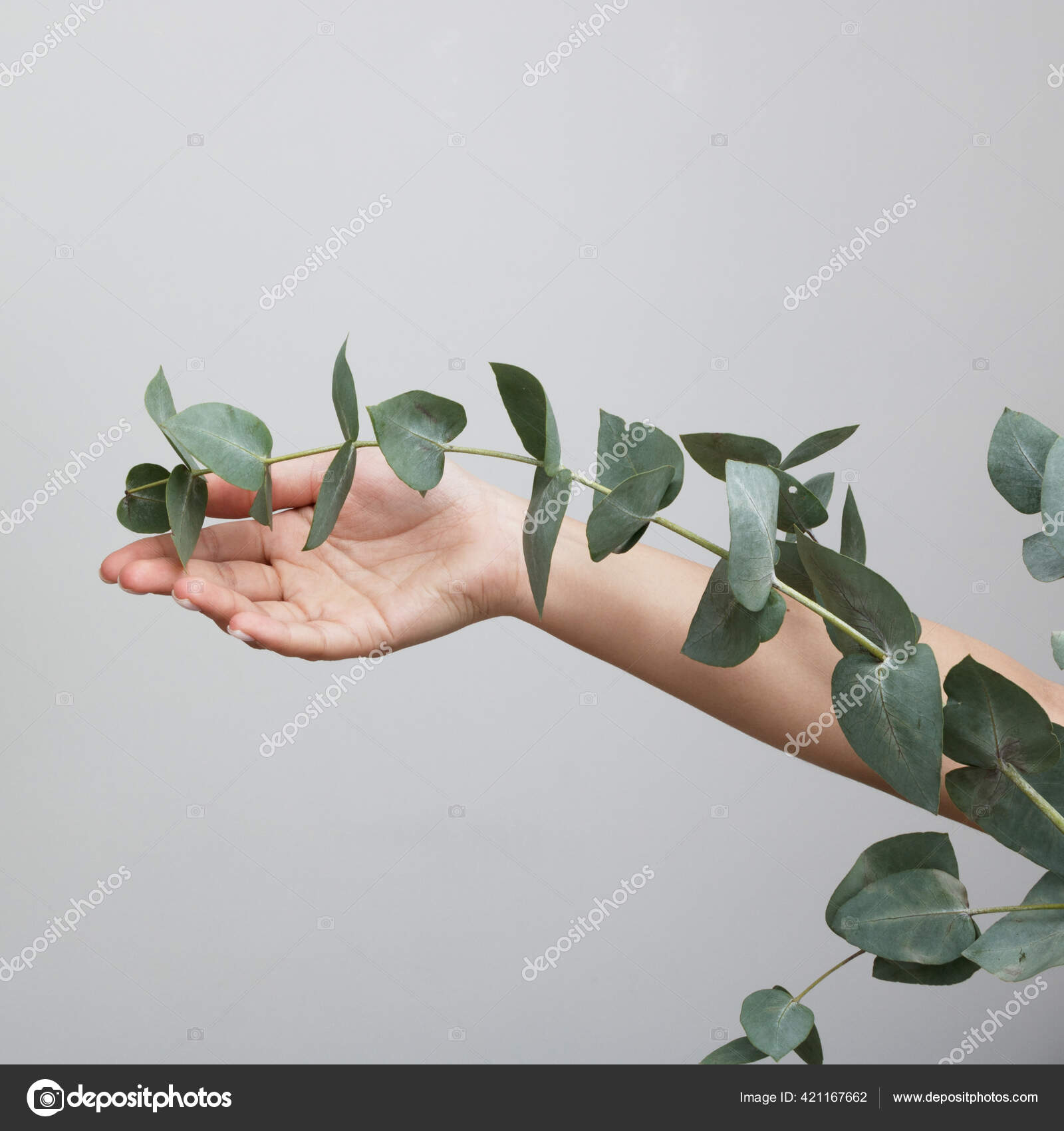 Woman Holding Flowers Eucalyptus On White Background Concept Cosmetic Body Care Anti Wrinkles Anti Aging Spa Female Hand With Beautiful Eucalyptus Leaves Stock Photo C Looking 2 The Sky 421167662