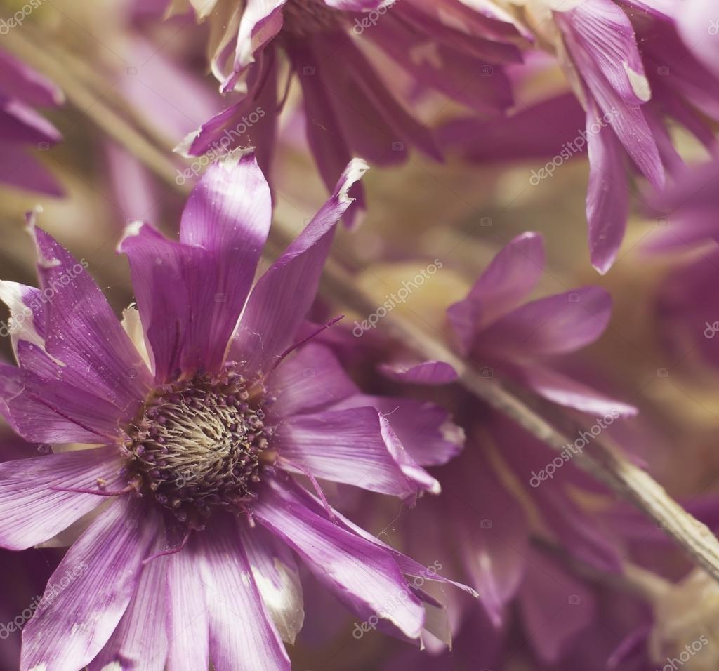 Herb Dried Flowers Annuals Kserantemum Purple Flowers Botanica