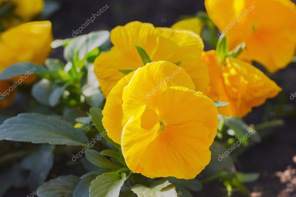 Fleur Jaune Iris Iris Lat Fleurs Vivace Printemps