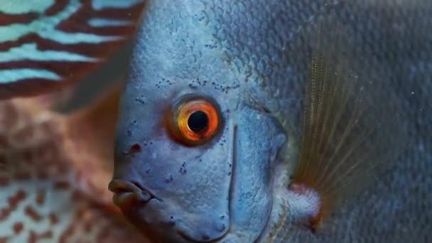 Symphysodon Diskusfische schwimmen im Aquarium. HD-Aufnahmen von Checkerbord roten Farben Fisch.
