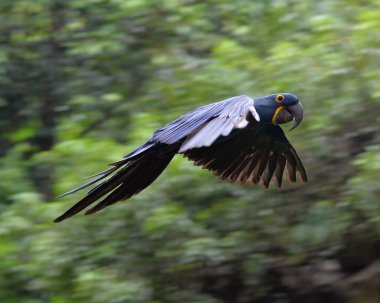Flying Hyacinth macaw