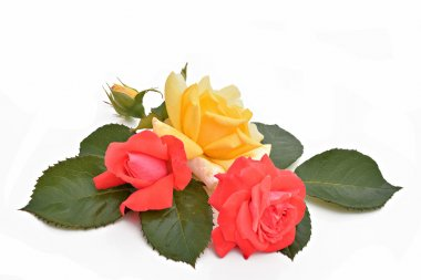 Red and yellow roses and leaves (Latin name: Rosa)