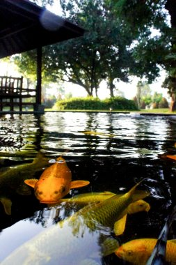 Colorful of life. Koi fish pond in Jogjakarta, Indonesia