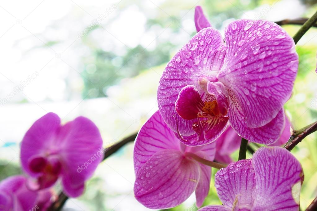 Beautiful wet flower; orchids. Magnificent droplet after raining. Orchid Park, Kuala Lumpur, Malaysia