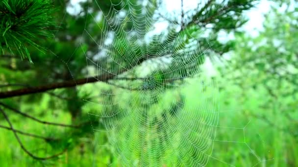 cobwebs in the morning mist. Wide Web plays in the wind. web moving in the wind. thick morning fog in the summer forest. thick morning fog in the forest at pond.  dense fog in the morning.