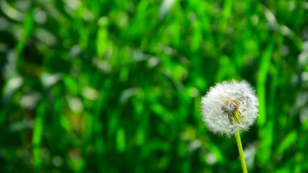 Pampeliška vítr hraje. Vítr fouká Pampeliška semena a rozptylují všude. Pampeliška semena ve větru. na stonku nadýchané Pampeliška foukané wind.dandelion ve větru