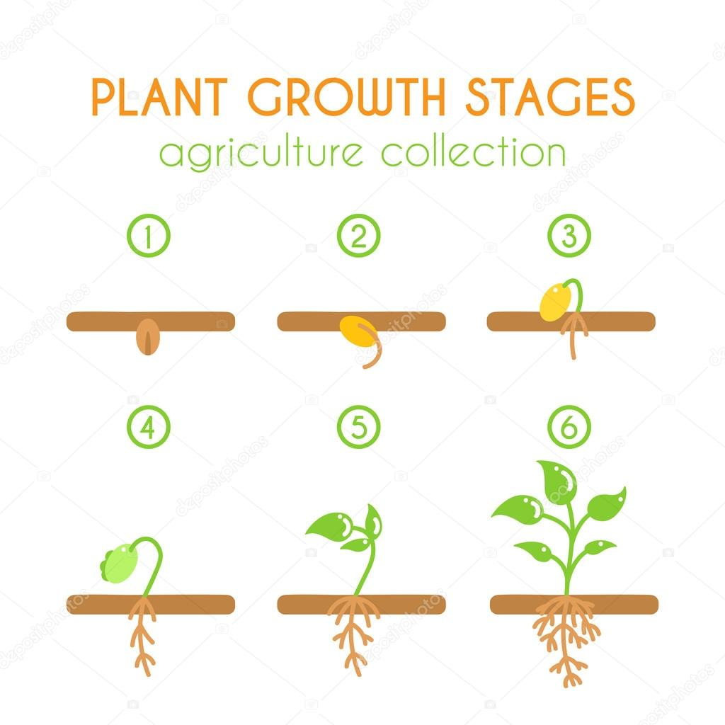 Vector plant growth stages. Planting process infographic design. Flat argiculture collection.