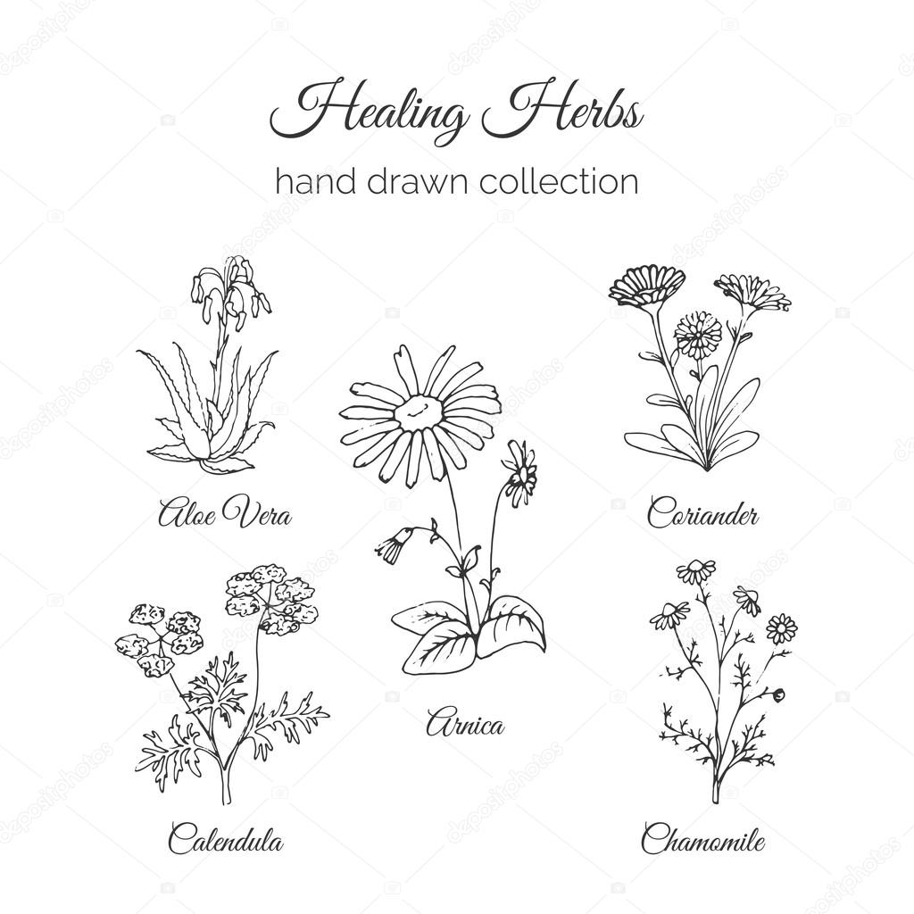 Holistic Medicine. Healing Herbs Illustration. Aloe vera, Arnica, Calendula, Chamomile and Coriande. Vector Ayurvedic Herb. Herbal Natural Supplements.