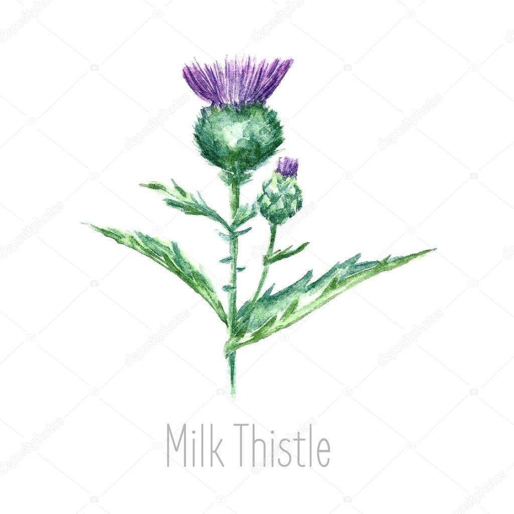 Watercolor milk thistle herb.