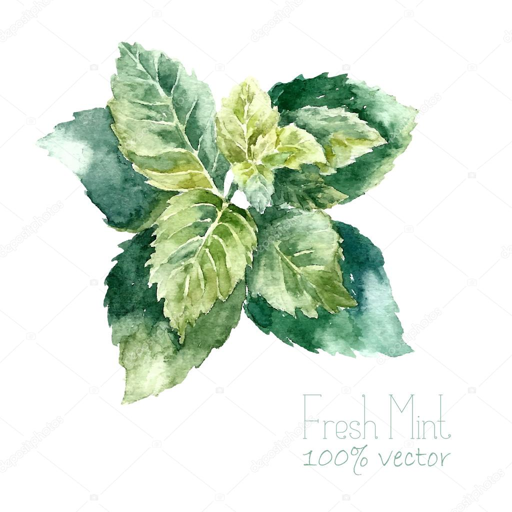 Watercolor mint illustrations.